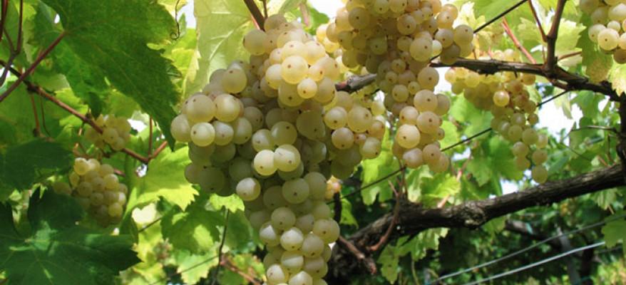 Friuli Venezia Giulia: terra dorata per i 'cercatori' di vino
