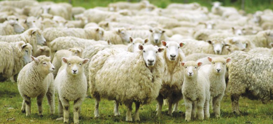 Tutti a guidare pecore. E il Pecorino vince!