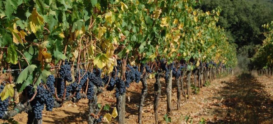 ABCvino – Il vino buono si fa in vigna o in cantina?