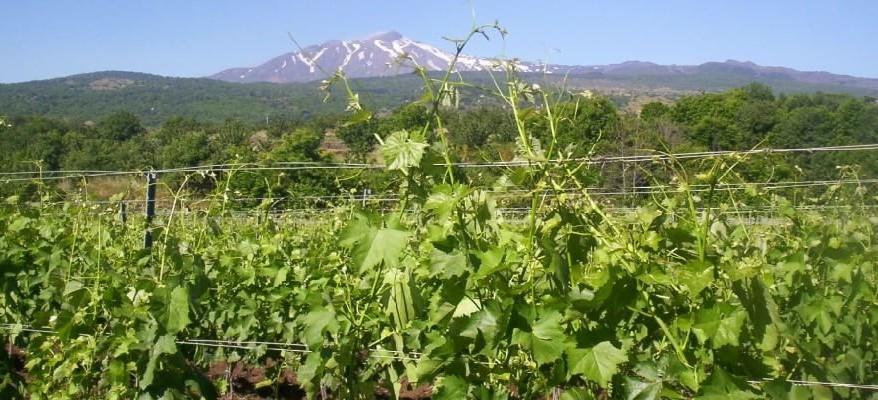 Mannino di Plachi, la nobiltà del vino alla conquista del mondo