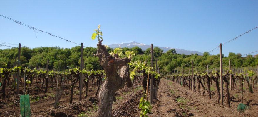 I vini di Tornatore, il Cavaliere che spaccava la 'Montagna'