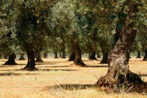 Piante di oliva cellina di Nardò, nei dintorni di Leverano (Lecce)