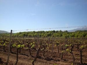 vigne-tornatore