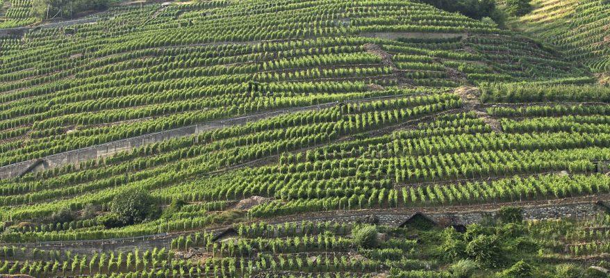Siccità: in Lombardia avremo meno uva. Ma sarà più buona