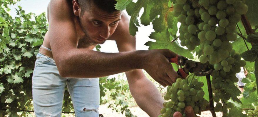 Vendemmia anticipata in Sicilia: tanto caldo, ma l'uva è ok