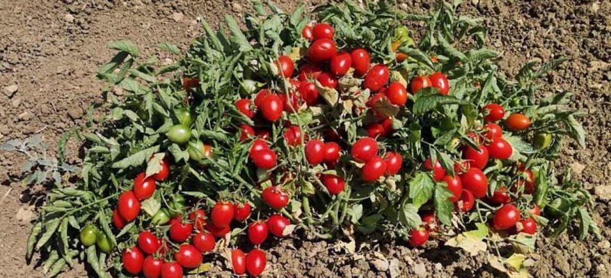 Il pomodoro buttiglieddru di Licata è presidio Slow Food