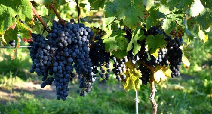 Vitigni d'Italia: Cabernet Franc e Cabernet Sauvignon