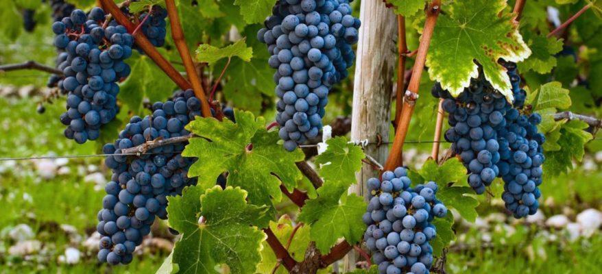 Vitigni d'Italia: l'Amarone